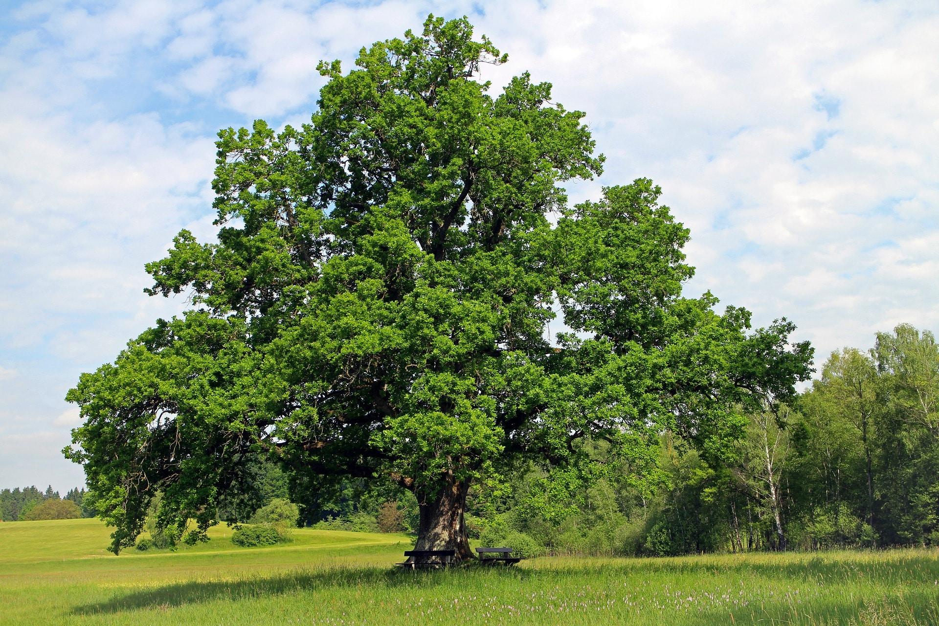 oak-354641_1920